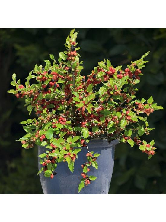 4e1dbc4378 Morus nigra Mojoberry (Patio Mulberry) in 9cm pot | very.co.uk