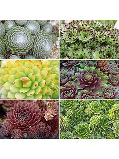 sempervivum-succulent-collection-set-of-12-plug-plants