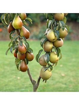 duo-pear-tree-2-varieites-on-1-tree-3l-pot-1m-tall