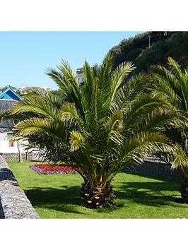 hardy-phoenix-palm-tree-15m