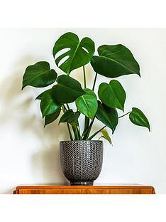 monstera-swiss-cheese-plant-14cm-pot-50cm-tall