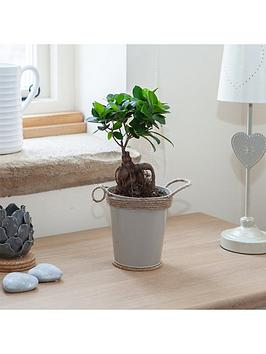 easy-care-houseplant-ficus-ginseng-in-13cm-zinc-pot