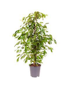 ficus-benjamanica-weeping-fig-21cm-pot-90cm-tall-green-houseplant