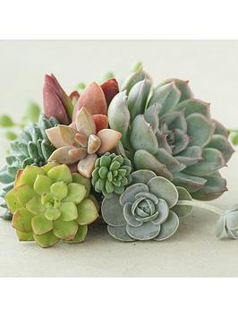 indoor-succulents-mix-3-types-in-85cm-plants