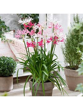 hardy-nerine-guernsey-lily-hybridisers-mix-x-10-bulbs
