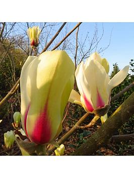magnolia-sunrise-bush-bare-root