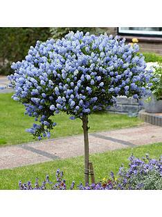 hardy-ceanothus-tree-californian-lilac-standard-90cm-tall