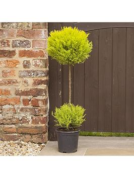 golden-cypress-duo-ball-topiary-19cm-pot-90cm-tall