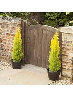 lemon-scented-cypress-tree-6-pack-in-9cm-pots-40cm-tall