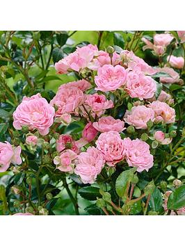 groundcover-rose-the-fairy-pink-2l-pot