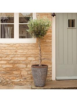 double-spiral-stem-premium-olive-tree-8l-pot-14m-tall