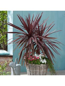 pair-of-cordyline-red-star-with-decorative-pots