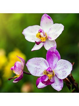 hardy-garden-orchid-calanthe-mix-12cm-pots