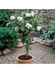 spiral-stem-scented-gardenia-standard-4l-pot-70cm-tall