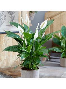 spathiphyllum-sweet-silver-14cm-pot