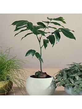 castanospermum-australe-moreton-bay-chesnut-12cm-pot