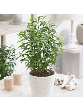 ficus-natasja-crazy-tree-12cm-pot