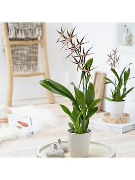 brassia-shelob-tolkien-spider-orchid-12cm-pot