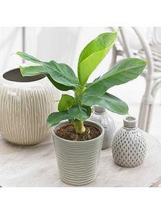 musa-tropicana-banana-plant-12cm-pot-with-potcover