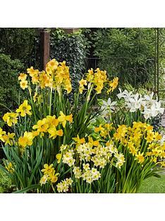dwarf-daffodils-narcisisi-x-100-bulbs