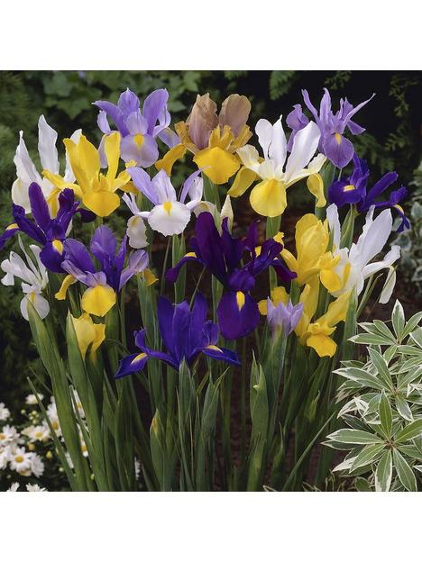 dutch-iris-mixed-x-100-bulbs