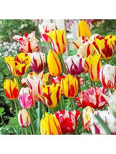 rembrandt-striped-tulips-mix-x-25-bulbs