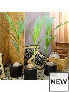 cocos-nucifera--coconut-palm-tree-3l