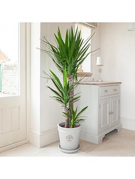 yucca-3-stem-904520cm-in-24cm-pot-13m-tall