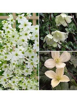 evergreen-clematis-plants-x-3-varieties-in-9cm-pots