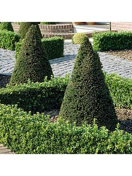 yew-taxus-topiary-pyramid-50-60cm-over-pot-70-80cm-total