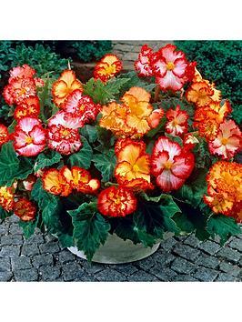 begonia-marginata-tubers-x-10