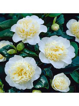 camellia-collection-3-x-9cm