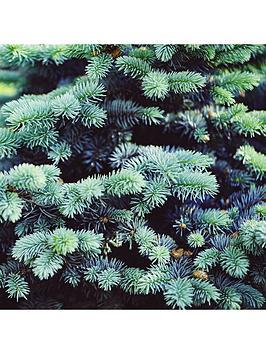 picea-super-blue-seedling-9cm-pot