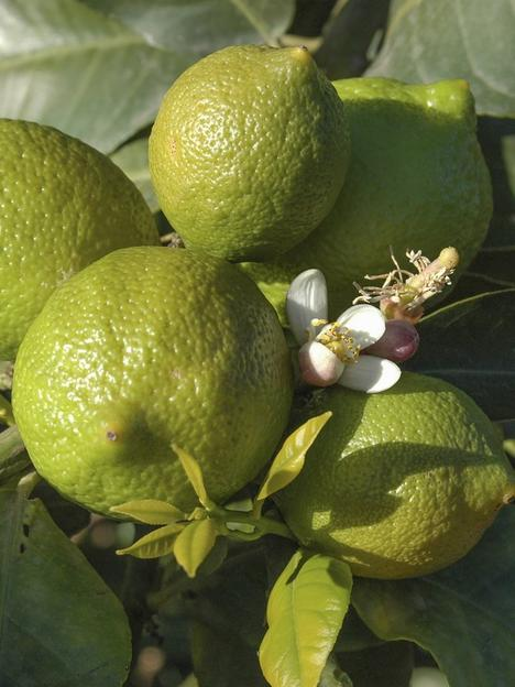 large-lime-tree-in-65l-pot