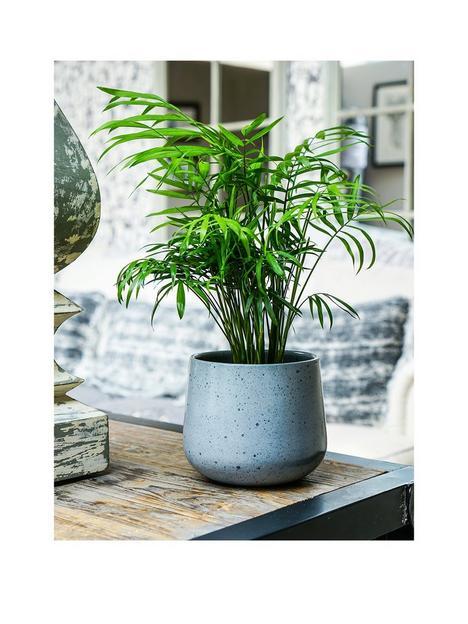 ivyline-real-parlour-palm-plant-in-pot
