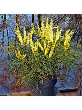 mahonia-eurybracteata-soft-caress-19cm-pot