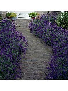 you-garden-hedging-lavender-hidcote-10-x-9cm-pot