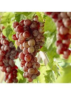 you-garden-table-grape-red-globe-5l-potted