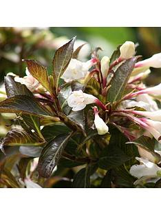 you-garden-weigela-black-and-white-3l