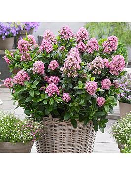 you-garden-escallonia-laevis-pink-elle-2l