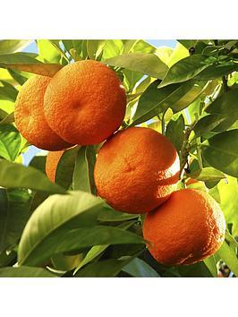 large-orange-tree-65l-with-pinecone-planter-citrus-feed