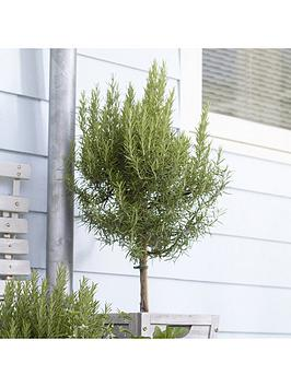 pair-of-standard-rosemary-70-80cm-tall-with-pinecone-planters