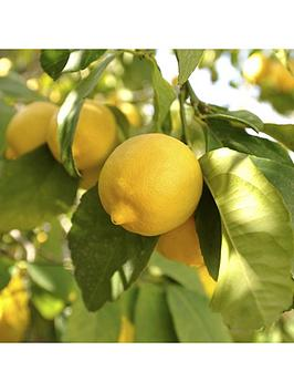 large-lemon-eureka-tree-65l-with-pinecone-planter-citrus-feed