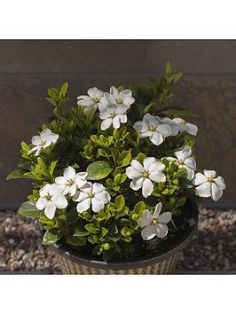 gardenia-kleims-hardy-2l