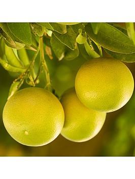 large-grapefruit-citrus-tree-6l