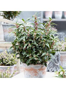 sarcococca-hookeriana-winter-gem-15cm-pot