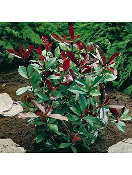 photinia-red-robin-3l