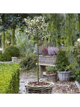 holly-ilex-aquifolium-silver-variegated-holly-standard-90cm-tall