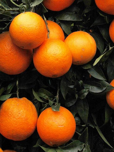 blood-orange-citrus-tree-6l