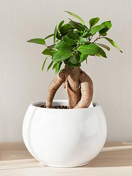 ficus-microcarpa-ginseng-bonsai-fig-14cm-pot
